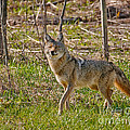 Woodland Coyote by Timothy Flanigan