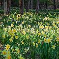 Woodland Daffodils by Bill Wakeley