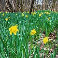 Woodland Daffodils by Dawn OConnor