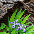 Woodland Dwarf Iris Wildflowers by John Haldane
