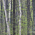 Woodland Spring by Alan L Graham