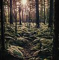 Woodland Trees by Amanda Elwell