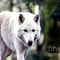 Woodland White Wolf 2 by Nick Gustafson