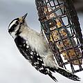 Woodpecker At Suet Iv by Lili Feinstein