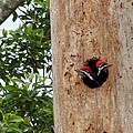 Woodpecker Babies Ready To Explore by Robert Norcia