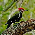 Woodpecker On A Limb by Stephen Whalen