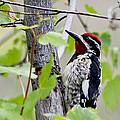 Woodpecker by Paula Marr