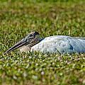 Woodstork Lazing In The Park by John M Bailey