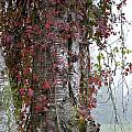 Woodvine by Thomas Phillips