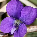 Woody Blue Violet by Eric Noa