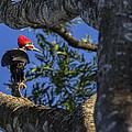 Woody Woodpecker by David Gleeson
