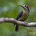 Woody Woodpecker.. by Nina Stavlund