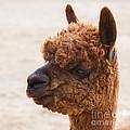 Woolly Alpaca by Jerry Cowart