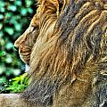 Woolly Mane Of The King   by Michael Frank Jr