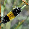 Woolly Worm In Yellowstone National Park by Bruce Gourley