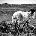 Wooly Goat by David Resnikoff