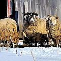 Wooly Sheep In Winter by Patti Smith