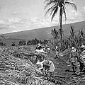 Workers Harvesting Sugar Cane by Underwood Archives