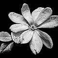 Wounded White Magnolia Wide Version Black And White by Weston Westmoreland