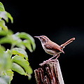 Wren - Carolina Wren - Bird by Travis Truelove