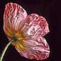 Wrinkled Rose by David and Carol Kelly