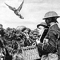 Wwi Releasing British Carrier Pigeon by Photo Researchers