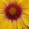 Wyoming Sunflower by Kent Becker