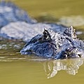 Yacare Caiman Swimming by John Devries/science Photo Library