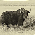 Yaks...the Official Animal Of Tibet by Alan Toepfer