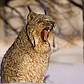 Yawn by Jack Milchanowski