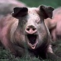 Yawn No I Am Not Ready For Bacon Yet by Bruce Nutting