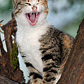 Yawning Cat by George Atsametakis