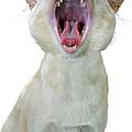 Yawning Cat by Jenny Setchell