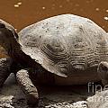 yawning juvenile Galapagos Giant Tortoise by Jason O Watson