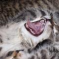 Yawning Kitten by Michal Boubin