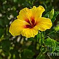 Yellow - Beautiful Hibiscus Flowers In Bloom On The Island Of Maui. by Jamie Pham