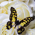 Yellow And Black Butterfly by Garry Gay
