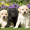 Yellow And Black Labrador Puppies by Jean-Michel Labat