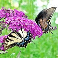 Yellow And Black Swallowtail Butterflies by Kim Bemis