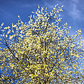 Yellow And Blue - Blooming Tree In Spring by Matthias Hauser
