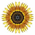 Yellow And Brown Sunflower I Flower Mandala White by David J Bookbinder