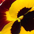 Yellow And Burgundy Pansy by Brenda Parent