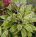 Yellow And Green Bromeliad by Bob Phillips