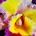 Yellow And Magenta Cattleya Orchid by Susan Savad