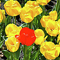 Yellow And One Red Tulip by Ed  Riche