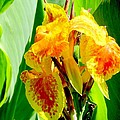 Yellow And Orange Canna Lily by Elaine Weiss