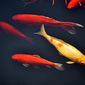 Yellow And Orange Koi Swimming by Sally Rockefeller