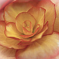 Yellow And Orange Rose by Maj Seda