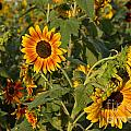 Yellow And Orange Sunflowers by Roy Thoman