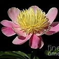 Yellow And Pink Peony by Kenny Glotfelty